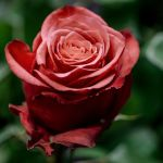 rose 64 by EphemeralMind