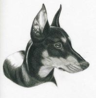 German Pinscher 1 by CynthT