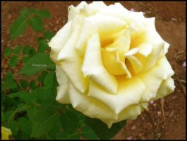 Yellow Rose by Magnha