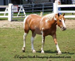Paint Horse 7 by EquineStockImagery