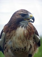 Male Red Tailed Hawk 3 by Malakhite