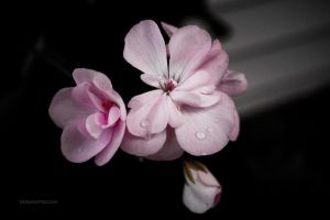 Pink Flower With Water Drops by designerfied