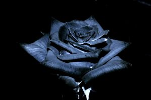 The Black Rose Of Texas by JSF1