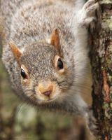 Grey Squirrel by AlinaKurbiel