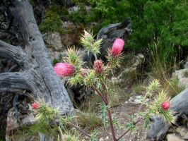 Grand Canyon flower 1 by todds201