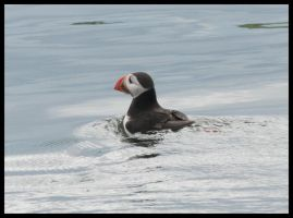 Puffin in water by Andy-Stewart