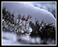 Snow on the Pine by ConnieBearer