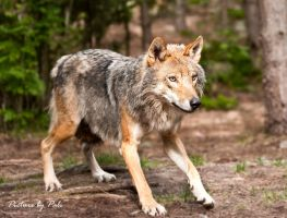 cautious Wolf3 by PictureByPali
