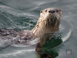 Otter Looking At Me While Swimming by wolfwings1