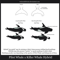 Killer Whale x Pilot Whale Hybrids: Wraith Whale by WeisseEdelweiss