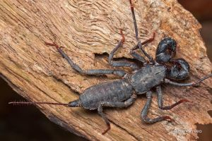 Whip Scorpion by melvynyeo