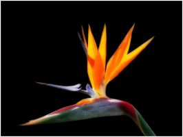 BIRD OF PARADISE by THOM-B-FOTO