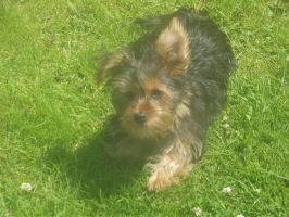 Milo- The Yorkshire terrier toy by Wierd-Girl-10