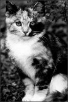 11.257 - calico kitten by BlackTau