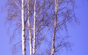 birch trees by Hoples