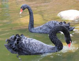 Black Swans by bydandphotography