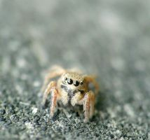 Salticidae....tiny by duggiehoo