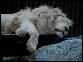 relaxing lion by morho