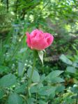 Pink Rose 1 by Sitara-LeotaStock
