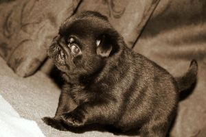 Walk on the wild side Pug by TrixieCullen