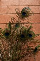 Peacock Feathers on Brick by remyrob