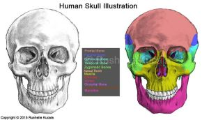 Human Skull Anatomy by TheDragonofDoom