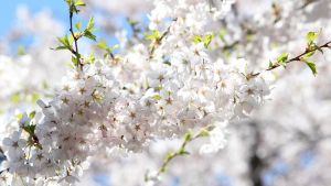 Cherry Blossoms 2 by DeStryker17