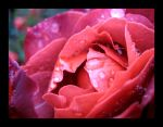 Raindrops on Roses III by aelthwyn