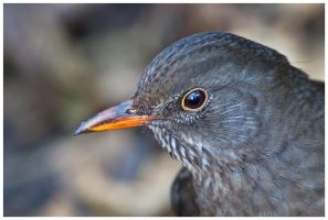 Blackbird female I by Malgorzata-Skibinska