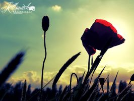 Papaver rhoeas silhouette by killswitch90