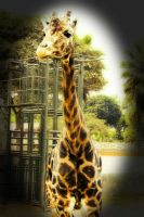 Giraffe by aflores167