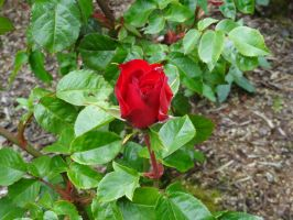 Red Rose Bud by SquishyPandaPower