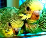 Baby Budgies by roxybudgy
