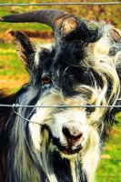 My name is Billy-Goat ... by Yoonett