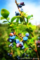 Blueberry Picking 1 by jrbamberg