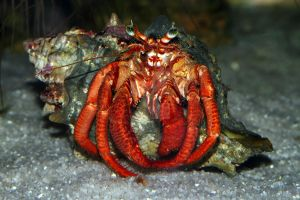 Hermit crab by swissnature