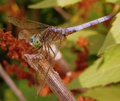Blue Dragonfly by PaganFireSnake