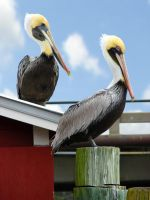 Pelicans by adrianparks