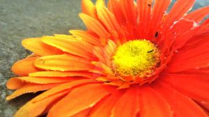 Orange Daisy ~ 2 by quickwing23