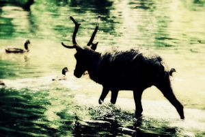 Reindeer lagune by Interna