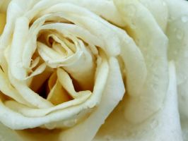 White Rose by charlalaliz