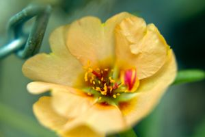 Nice color for a moss rose.... by drewii57