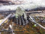 Spotted Mangrove Hand by tablelander