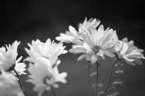 BW Flowers by Jack-Nobre