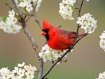Cardinal among pear tree blossoms by Sonicthehedgefox345