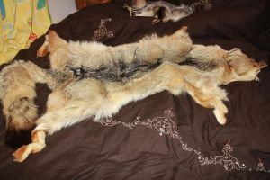 FOR SALE: Coyote Pelt by romancer