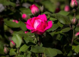 Rose by robmurdock