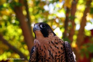 Falcon by Riphath
