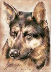 German Shepherd by AuroraWienhold