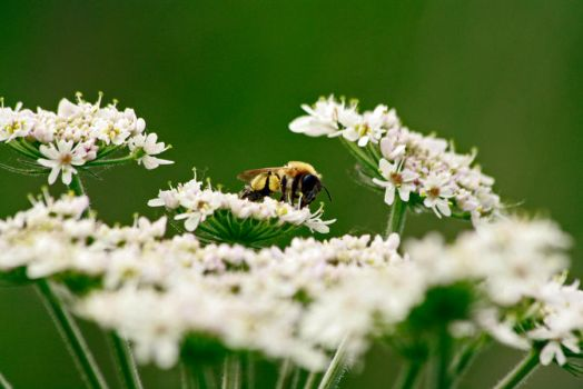 Giant Hogweed and Bee by Tinap